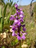 Testículo-de-cão // Green-winged Orchid (Orchis morio subsp. morio)