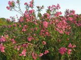 Flores de Loendro // Oleander Flowers (Nerium oleander)