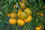 Tangerinas // Tangerines (Citrus reticulata)