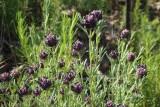Rosmaninho-maior // French Lavender (Lavandula stoechas)