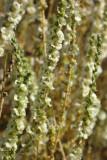 Flor do Sapal // Shrubby Russian Thistle (Salsola vermiculata)