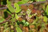 Frutos da Silva: Amoras Silvestres // Elmleaf Blackberry (Rubus ulmifolius)