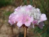 Arméria (Armeria macrophylla)