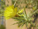 Cártamo-lanoso // Woolly Distaff Thistle (Carthamus lanatus)