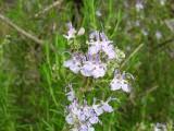 Alecrim // Rosemary (Rosmarinus officinalis)
