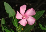 Flor do Loendro // Oleander flower (Nerium oleander)