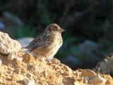 Pardal // House Sparrow (Passer domesticus subsp. domesticus)