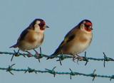 Casal de Pintassilgos // European Goldfinches (Carduelis carduelis subsp. parva)
