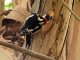 Pica-pau-malhado // Great Spotted Woodpecker (Dendrocopos major)