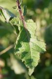 Mostarda- dos-campos // Wild Mustard (Sinapis arvensis)