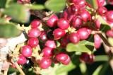 Aroeira // Mastic Tree (Pistacia lentiscus)