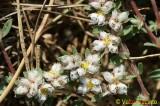 Erva-prata; Paroníquia; Erva-dos-unheiros // Algerian Tea (Paronychia argentea)