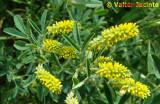 Anafe-menor; Trevo-de-cheiro // Indian Sweet-clover (Melilotus indicus)