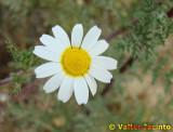 Falsa-camomila; Margação // Corn Chamomile (Anthemis arvensis)