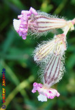 Silene // Pink Pirouette (Silene colorata)