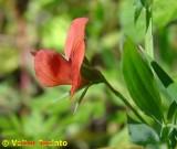 Flor do campo // Red Pea (Lathyrus cicera)