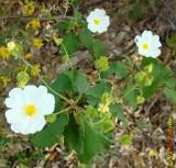 Estevão (Cistus populifolius)