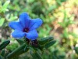 Erva-das-sete-sangrias (Lithodora prostrata)