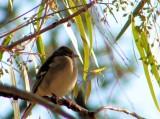 Tentilhão-comum // Chaffinch (Fringilla coelebs subsp. balearica), female