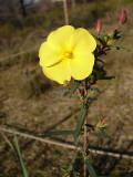 Erva-sargacinha (Halimium calycinum) /|\ Yellow Rock Rose