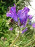 Soagem (Echium plantagineum)