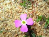 Flores das Dunas // Dunes Flowers