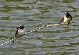 Casal de Andorinha-das-chaminés // Barn Swallow pair (Hirundo rustica subsp. rustica)