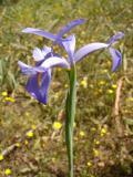 Lírio-dos-montes (Iris xiphium) /|\ Spanish Iris