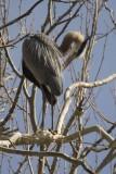 Blue Heron Rookery - CVNP