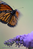 Ohio Butterflies & other flying critters
