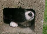 Susan's Cardigan Corgi  Pups
