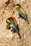 Gruccione ( Bee-eater )