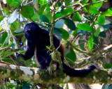 Howler monkey at the Penas Blancas river