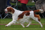 Welsh Springer Spaniel - Kiwi
