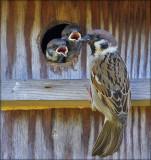 Tree Sparrow - Skovspurv