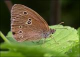 Engrandøje - Aphantopus Hyperantus