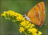 Butterflies In Denmark