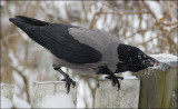 Gråkrage - Corvus Corone Comix