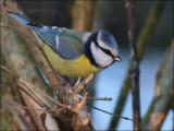Blåmejse - Parus Caeruleus