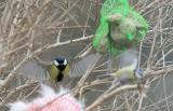 Great and Blue Tit