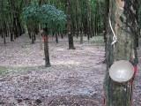 Viet_3559  rubber trees