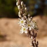 Onionweed - Asphodelus fistulosus
