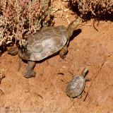 Moorse Beekschildpad - Mediterranean turtle - Mauremys leprosa