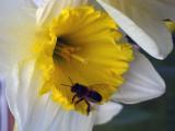 Pommy  Bee .jpg
