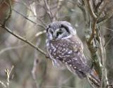 Study of Tengmalms owl