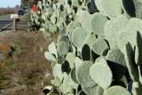 Roadside Cacti