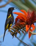 Black-cowled Oriole_DSC9266-800.jpg