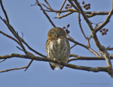 Cuban Pygmy Owl_DSC9518-800.jpg