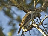 Loggerhead Kingbird_DSC9380-800.jpg