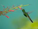 Emerald Hummingbird_DSC8881-800.jpg